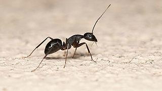 Hoe bestrijd je mieren in huis?