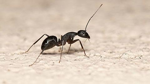 Hoe bestrijd je mieren in huis?}