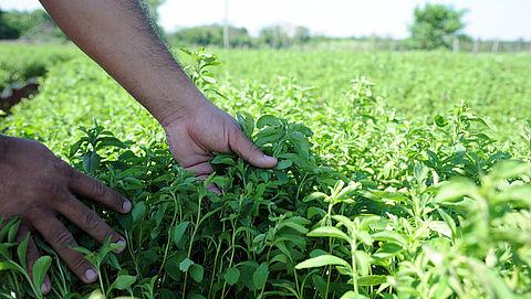 Suikervervanger stevia: wat je moet weten over deze zoetstof}