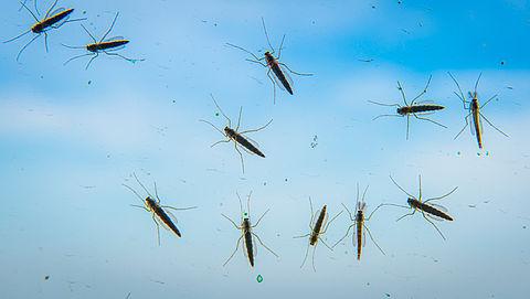 Veel overlast door winterse steekmuggen