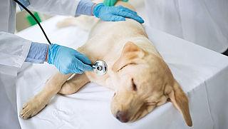 Brucellose: ongeneeslijke hondenziekte in Nederland