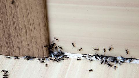 Mieren, zilvervisjes en fruitvliegjes: zo houd je ze buiten de deur