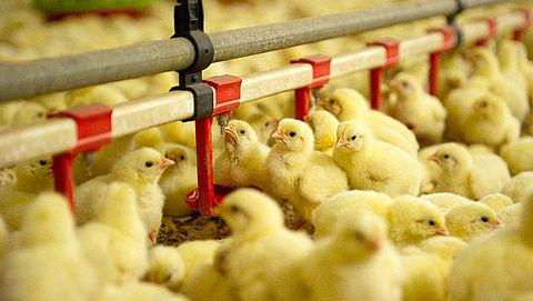 'Plofkip-resolutie': EU wil eind aan kippenleed