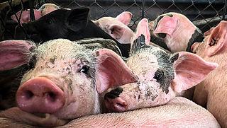 Minister wil verbod op veevervoer bij temperaturen boven de 35 graden