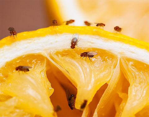 Hoe kom ik van fruitvliegjes af?}