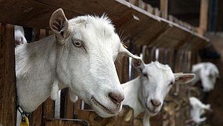 Verhoogde kans op longontsteking rond geitenboerderijen