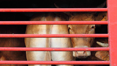 'Afgeschermd dierenleed in dichte veewagens'