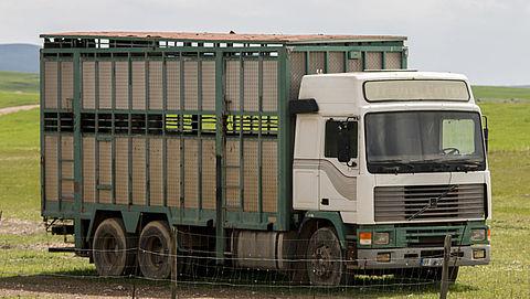 Hitteprotocol beschermt vee tijdens vervoer