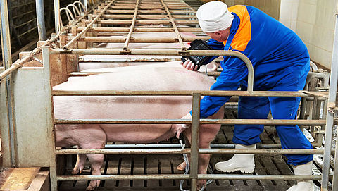 'Stop slachting hoogdrachtige dieren'