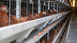 Animal Rights filmt opnieuw misstanden in leghenbedrijven