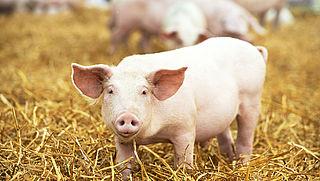 Vijfsterren-status voor 28 varkensboeren