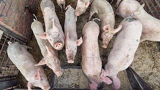 'Kom in actie tegen afknippen varkensstaarten'