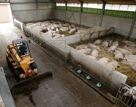 Bedrijven gaan voor beter varkensleven}