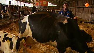 De koe en melk