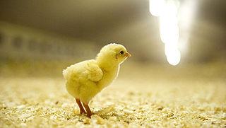 Hoe langzaam groeit kip 'van een langzamer groeiend' ras?
