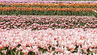De bollenstreek haalt bloemen eerder weg om bezoekersstroom te voorkomen