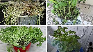 Kruidenplantjes: alleen voor groene vingers?