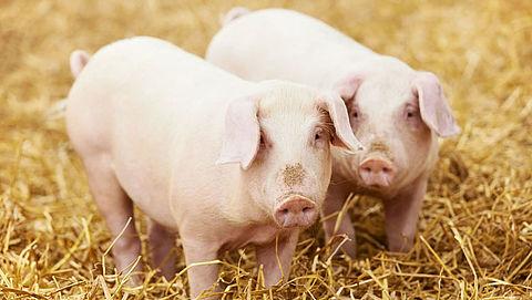 'Jumbo varkensvriendelijker dan AH'}