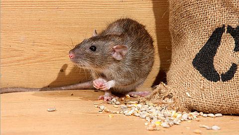 'Overheid kan toename rattenoverlast niet aan'}