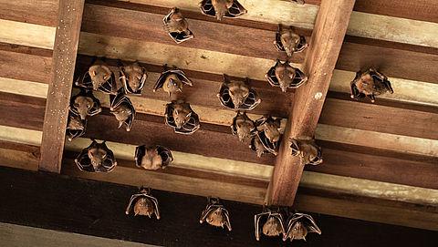 Zoogdiervereniging: controleer je huis op vleermuizen voordat je gaat isoleren