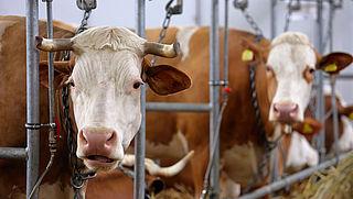 '81 miljoen dieren in veehouderij vroegtijdig gedood'
