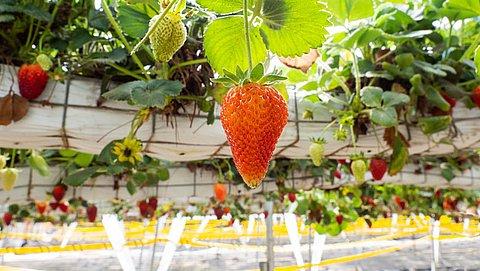 Zit er in de winter meer gif op aardbeien?