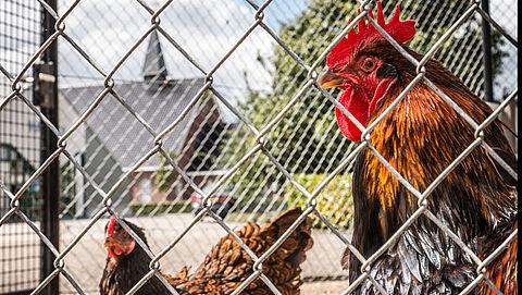 Dierenorgansaties protesteren tegen doden fipronil-kip