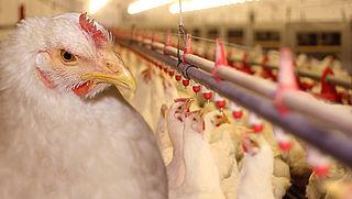 2,5 miljoen kippen geruimd om fipronil-schandaal
