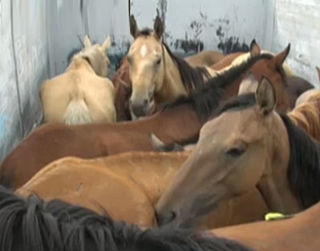 Vijf jaar cel geëist voor paardenvleesfraude