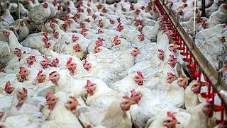 Pensioenfondsen moeten beleggingen gebruiken als drukmiddel tegen dierenleed