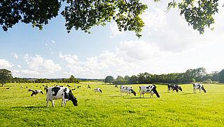 Koeien minder vaak in de wei