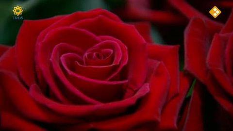 Afrikaanse rozen voor Valentijn