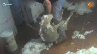 Hoe diervriendelijk is merinowol?