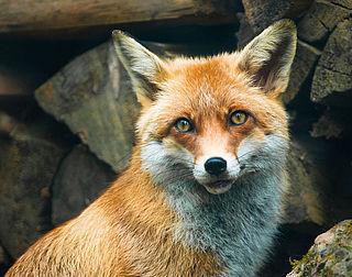 Jagers waarschuwen voor vossenlintworm