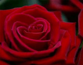 Geïmporteerde roos kost 10 cent