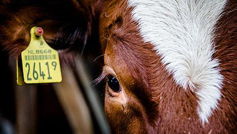 NVWA beboet boeren die hoogdrachtige koeien laten slachten