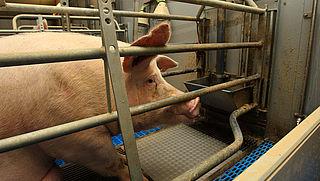 Brandbrief naar minister om 'ernstig ongerief' van miljoenen varkens