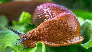 Zo bestrijd je slakken in de tuin