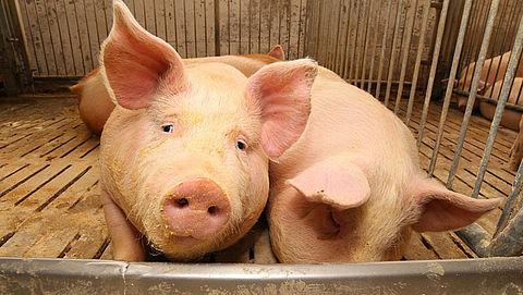 Varkens in Nood dient klacht in tegen varkensslachterij VION}