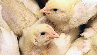 Schokkende undercoverbeelden uit Belgische kippenfokkerij