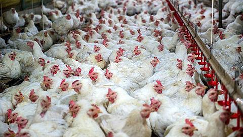 Stichting Red een Legkip heeft ruim 11.000 kippen gered van slachthuis
