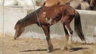 Vlees van zieke paarden in jouw bitterbal