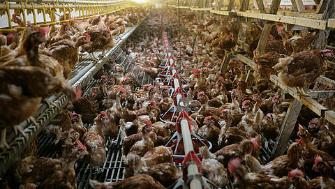Schokkende undercoverbeelden van misstanden in kippenschuren