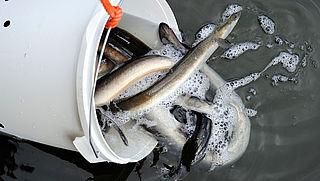 Veel toprestaurants hebben bedreigde vissoort op het menu