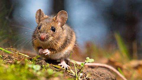 'Ratten- en muizenplaag dreigt door verbod op gif'}