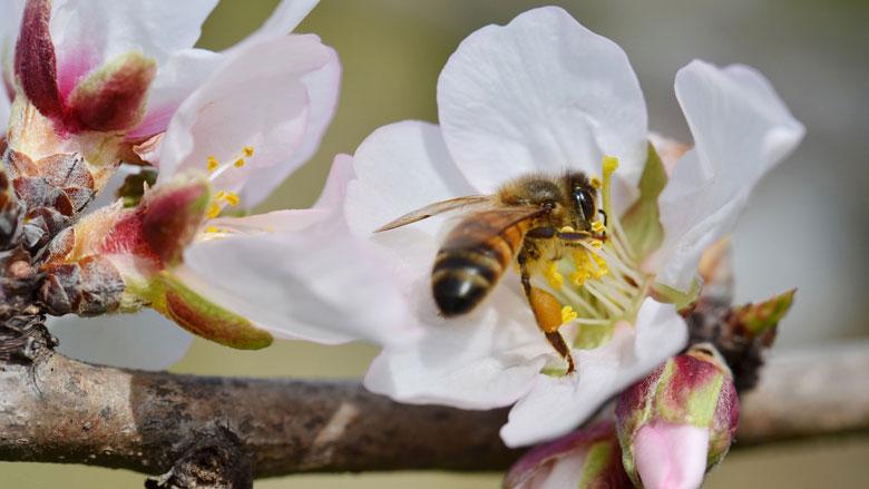 Pesticiden zorgen ervoor dat bijen sterven