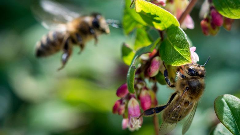 Europese Commissie wil verbod op schadelijke soorten bijengif