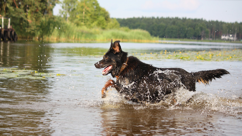 Hondenbezitters, pas op voor blauwalg!
