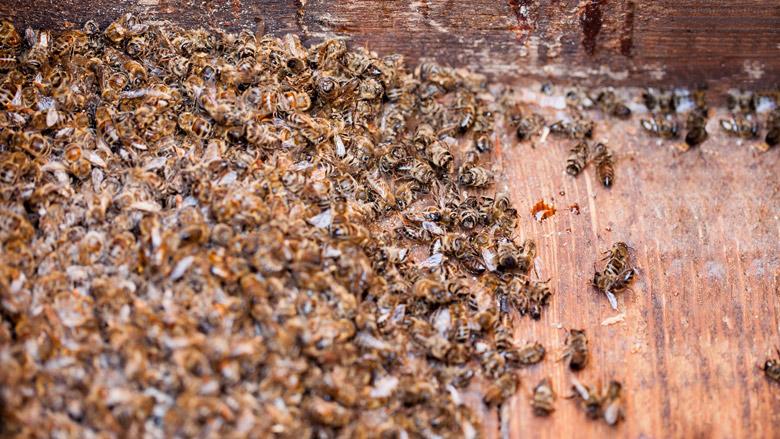 Gewasbeschermingsmiddel voor sierplanten doodt bijen
