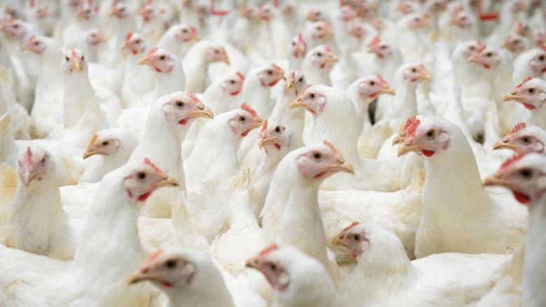 'Uitgelegde kippen waardeloos behandeld'